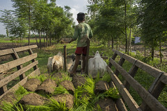 Farmers son transports rice seedlings in his familys ox cart for planting with machine in Rambasti, Kanchanpur. (CIMMYT) Tags: nepal csisa cimmyt maize agriculture smallholder farmer mechanization asia