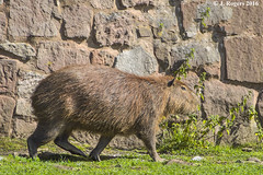 Capybara (wolf 10) Tags: capybara rodent animals wildlife nature chesterzoo