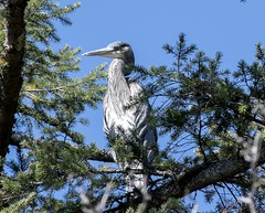 Great Blue Heron (David Badke) Tags: colwood bc bird
