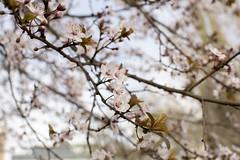 Primavera Anticipada (Ricardo Luna P) Tags: spring flower flores flor colores colors blossoms cherry tree leaves arbol brote nacer vida