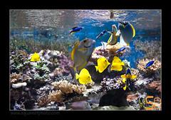 ALAIN2poissons6620 (kactusficus) Tags: marine reef aquarium alain captive ecosystem rcifal acanthuridae chirurgien surgeonfish tang zebrasoma flavescens yellow acanthurus dussumieri