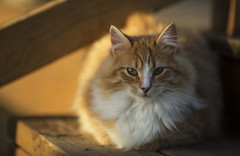Rowdy4 (TaylorB90) Tags: taylorbennett cat cats kitties kittens cute fluffly canon 5d3 70200 7200 28 is ii orange