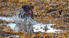 Cutting Stare.. (Michael C. Hall) Tags: dog labrador play run seaweed rockpool pool splash coast
