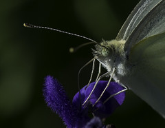 Butterfly_SAF7623-2 (sara97) Tags: butterfly copyright2016saraannefinke flyinginsect insect nature outdoors photobysaraannefinke pollinator saintlouismissouri towergerovepark