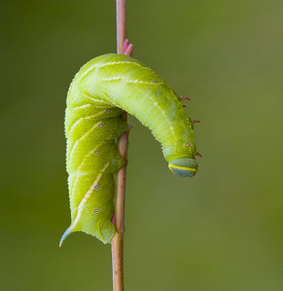 Eyed Hawk - Moth Caterpillar, Smerinthus ocellata