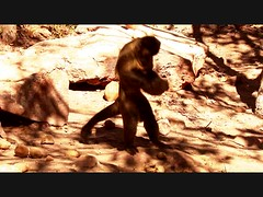 Bearded capuchins cracking palm nuts Piaui in Brazil (inyathi) Tags: brazil monkeys primates nuts piaui capuchins beardedcapuchins southamerica cerrado
