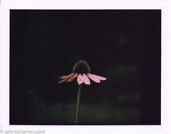 266 of 366 First Day of Autumn (johnlishamer.com) Tags: 120 2016 6x6 bataviail fp100c fp3000b firstdayofautumn flowers fujifilm lishamer mamiyac220professional mamiyarb67prosd polaroid project366 seiko90mmf35kl backyard echinacea film instantfilm johnlishamercom mediumformat photoaday purpleconeflower summerisover tlr twinlensreflex