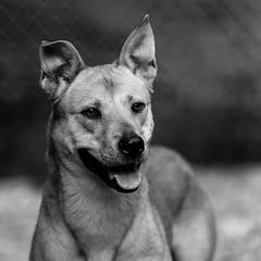 Gypsy04Sep1600021-Edit.jpg (fredstrobel) Tags: dogs pawsatanta phototype atlanta blackandwhite usa animals ga pets places pawsdogs decatur georgia unitedstates us