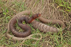 Coachwhip (J T Williams) Tags: texas snake coachwhip masticophis