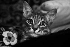 My cat b&w (cyberain89) Tags: snapseed bw 50mm canon samara day autumn mycat cat