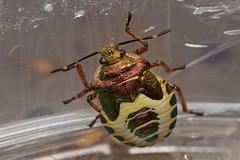 bronze shieldbug, Troilus luridus, nymph (David_W_1971) Tags: hemipterashieldbugs jow2016 raynox dcr250