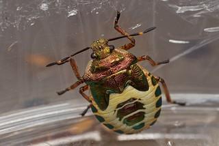 bronze shieldbug, Troilus luridus, nymph