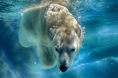 Just looking in (ucumari photography) Tags: ucumariphotography anana polarbear ursusmaritimus oso bear animal mammal nc north carolina zoo osopolar ourspolaire oursblanc eisbär ísbjörn orsopolare полярныймедведь blue water april 2016 dsc6373 specanimal specanimalphotooftheday specanimaliconofthemonth