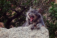Yawn (pandorahoshii) Tags: cat yawning animal paws tounge mouth