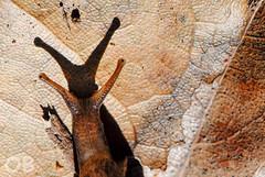 Escargot (Olivier Brosseau) Tags: escargot mollusque endmique vitrinidae plutonia lamarckii terrestre tenerife island canary nikonpassion flickrnature insulivitrinasp insolite slection