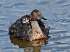 Safe with Mom!  4749 (Bonnieg2010) Tags: earedgrebeandchick earedgrebe chickonback wild nature avian water pond lake franklake alberta bonniegrzesiak bird waterfowl