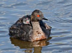 Safe with Mom!  4749 (Bonnieg2010) Tags: earedgrebeandchick earedgrebe chickonback wild nature avian water pond lake franklake alberta bonniegrzesiak bird waterfowl