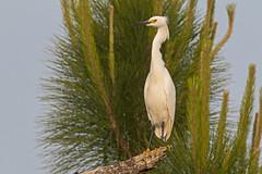 Snowy Egret (Stephen J Pollard (Loud Music Lover of Nature)) Tags: egrettathula snowyegret garcetapiedorado bird ave nature naturaleza fauna wildlife garzadedosdorados