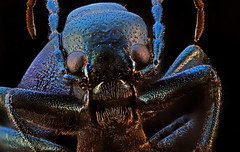 scarab? (lilewis) Tags: scarab insect beetle bug scary macro extrememacro