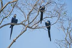 Three hyacinth macaws (Tambako the Jaguar) Tags: hyacinth macaw bird three perched tree branches sky blue wildanimal wild wildlife nature pantanal matogrosso brazil nikon d5
