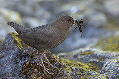 American Dipper With Stonefly (Evan Barrientos Photography) Tags: americandipper animals birds cinclidae montana nature northamerica parkcounty passeriformes pinecreeklaketrail places unitedstates