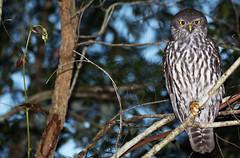 Barking Owl (Jayden Walsh) Tags: barking owl narrabeen sydney bird