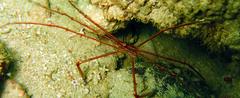 Stenorhynchus seticornis (MaKuriwa) Tags: crustaceos