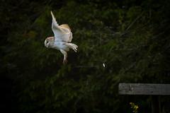Take-Off (jammo s) Tags: barnowl owl tytoalba wildbarnowl birdofprey bird birdinflight wildowl nature dawn wildlife canonef400mmf56lusm canoneos80d