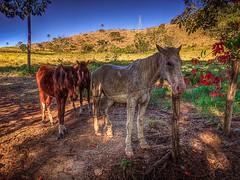Cavalos (rvcroffi) Tags: countryside hdr horses cavalos