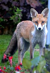 Early Morning Visitor (Eleanor (No multiple invites please)) Tags: garden fox fantasticnature photographersworld naturescreations natureskingdom intensosanimals brigettesbeautifulnaturegallery anythingnikonexceptpeople