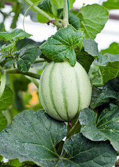 Our Gardens - New Earth Organic Farm - A cantaloup in the greenhouse (MiFleur...Thank You for 1 Million Views) Tags: new green earth farm vert produce growing organic lgumes vegetagles