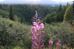 "Fireweed • <a style=""font-size:0.8em;"" href=""http://www.flickr.com/photos/74478728@N08/7778881734/"" target=""_blank"">View on Flickr</a>"