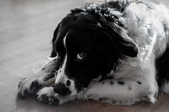 Tibbe (Thomas de Haan) Tags: dog puppy hond pup friesche stabij