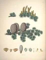 Anglų lietuvių žodynas. Žodis genus cedrus reiškia genties cedrus lietuviškai.
