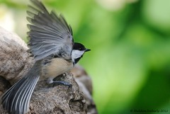 Ready for Take Off (Sheldon Emberly) Tags: wild bird nature naturallight blackcappedchickadee pictureperfect assiniboinepark englishgardens birdinflight theenchantedcarousel nikond3000