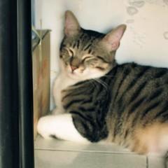 (Nicholas  H) Tags: pet white cat boot room fat tabby pussy sleepy stare staring   drowsy dozy  kamiu
