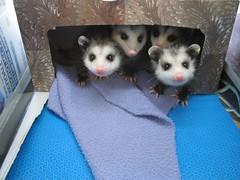 Virginia Opossums