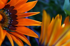 Ablaze with colour......(Explored) (Jak 45) Tags: flowersarebeautiful friendlychallenges thechallengefactory