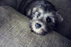 <3 (Jamie-Owens) Tags: dog puppy miniature schnauzer mini cutepuppy