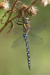 Southern Hawker Roosting 3/3 (.mushi_king) Tags: insect milton miltoncountrypark