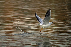 (saeid.goodarzi) Tags: bird nature nice  esfahan isfahan   zayanderood   zayandehrood canonefs55250mmf456is