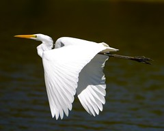 Great egret (cl.lin) Tags: bird nature birds nikon midwest wildlife birding sigma iowa mississippiriver cormorant greatblueheron birdinflight lockanddam14 d7000 ld14