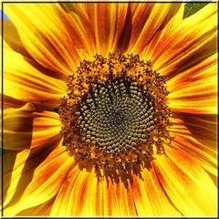 9. September 2012: Sonnenblume (Gertraud-Magdalena) Tags: sommer september sunflower sonnenblume seeham fantasticnature alittlebeauty hennysgardens