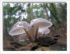 Glanzende hoedjes ( Annieta  Off / On) Tags: wood holland nature mushroom netherlands canon doorn kaapsebossen nederland natuur powershot september s2is paddenstoel bos champignon allrightsreserved 2012 porseleinzwam coth maarn annieta themacrogroup macrolife usingthisphotowithoutpermissionisillegal mygearandme me2youphotographylevel2 me2youphotographylevel3 me2youphotographylevel1 oudemansiellamucidasynoniemcollybiamucida