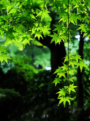 ....Maple (Rosanna Leung) Tags: sculpture green statue japan temple japanesegarden maple kyoto path buddha    sanzenin         sanzeninmonzeki