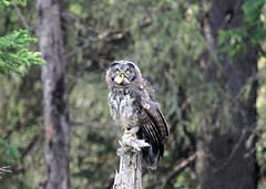 Great Grey Owlet (K Fletcher) Tags: canada bird grey great raptor alberta owl owlet