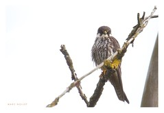 Falco subbuteo - Eurasian Hobby (Marc Nollet) Tags: brussels bird birds belgium belgique belgie vogels vogel birdwatcher belgie natuurfotografie eurasianhobby falcosubbuteo sintagatharode boomvalk nollet vogelfotografie fauconhobereau thewonderfulworldofbirds