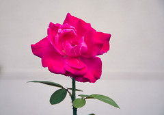 la rose de lamiti (Laura-Petite Fleur) Tags: plant flower nature fleur rose plante friendship amiti camaraderie queenrose rememberthatmomentlevel1 rememberthatmomentlevel2