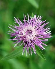 Schwarze Flockenblume_DSC_3318 (schaefer_rudolf) Tags: blte asteraceae centaurea flockenblume wildpflanze korbbltler krbchenblumentyp rotrotviolett