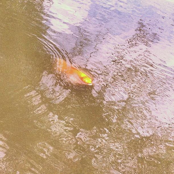 Un pesce che cerca una boccata d'aria.